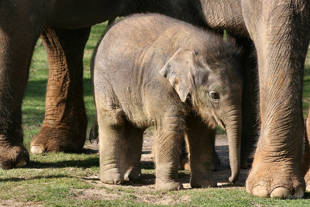 baby elephant by odile