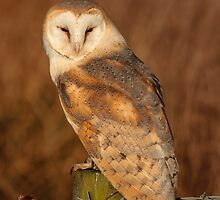 Barn Owl on sitting in the evening sun by Dave  Knowles