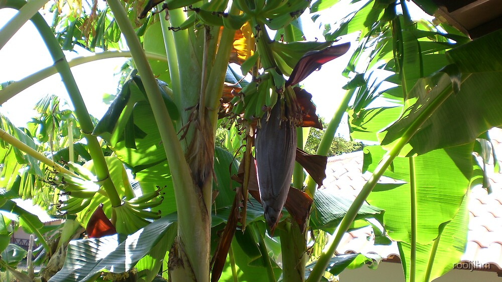 Banana tree by rooijlhm