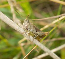 Grasshopper by Robert Carr