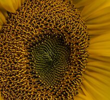 Sunflower - Macro Photography by Pixie Copley LRPS