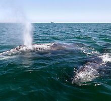 Gray Whale Mum and Calf by Steve Bulford