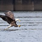 The American Bald Eagle by cvrestan