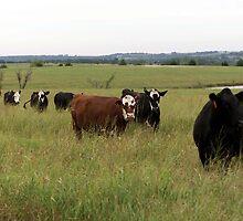 Cows by heatherdawn6189