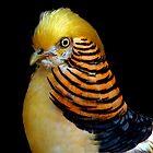 Yellow Golden Pheasant by CarolM
