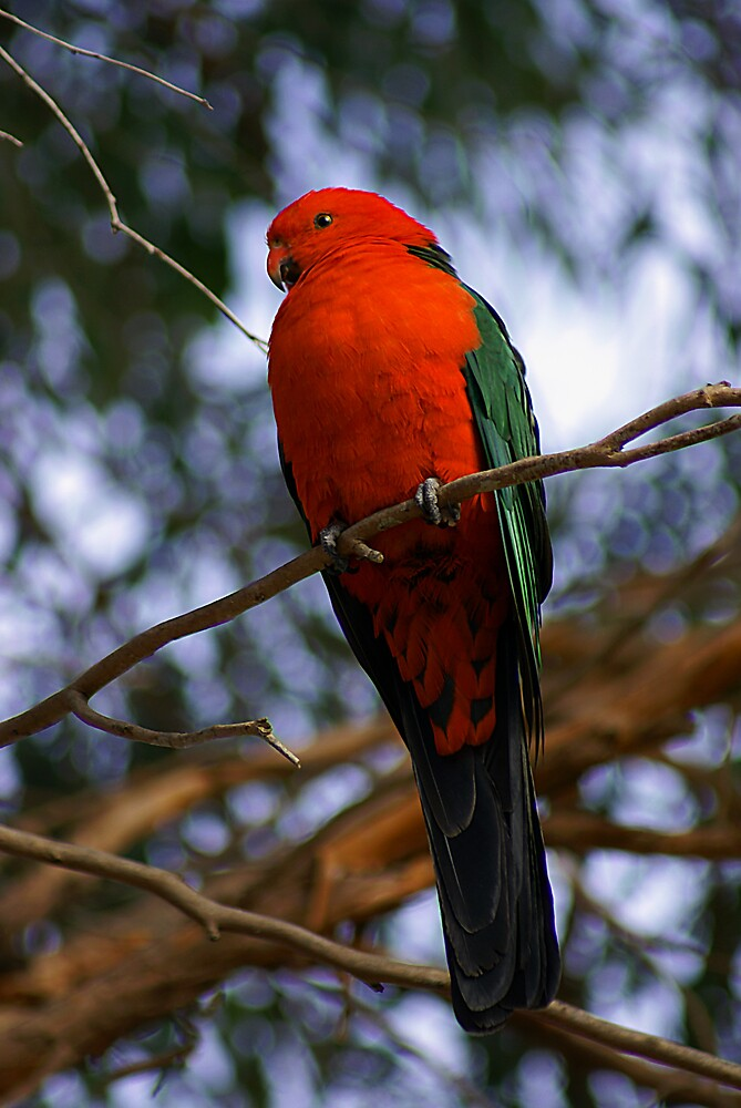 King Parrot by Steve Broadley