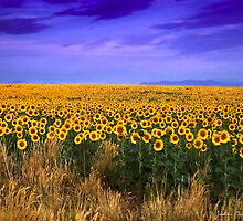 Sunflowers of Dusk by John  De Bord Photography