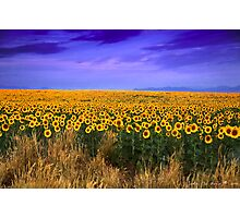 Sunflowers of Dusk Photographic Print