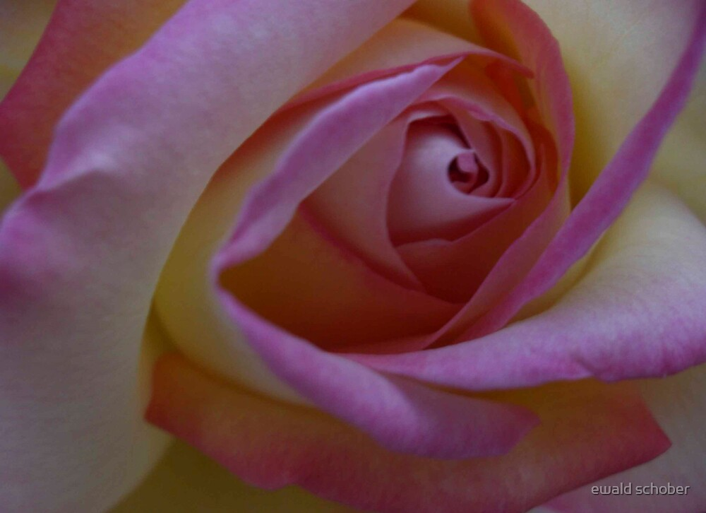 rose1 by ewald schober