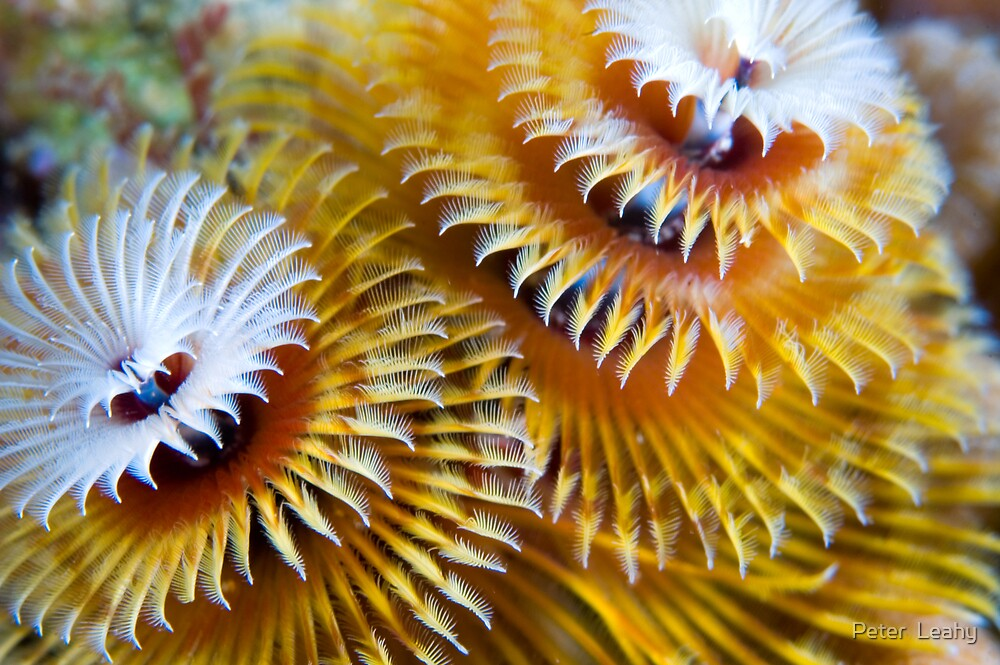 Christmas Tree Worm by Peter  Leahy