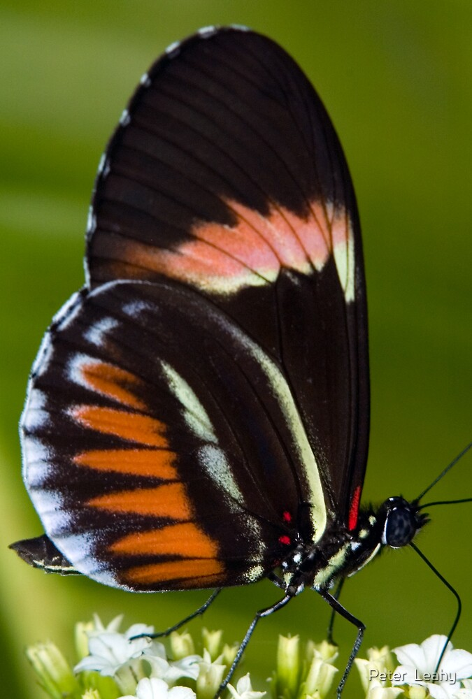 Piano Key Butterfly by Peter  Leahy