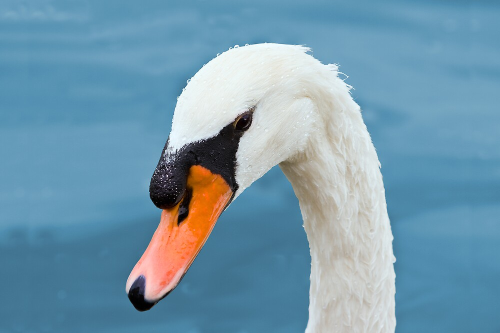 Mute Swan Portrait by Delores Knowles
