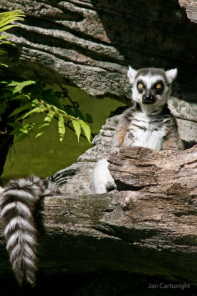 Lemur In Repose by Jan Cartwright