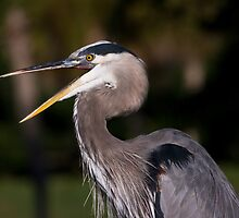 Great Blue Heron Angry by Delores Knowles