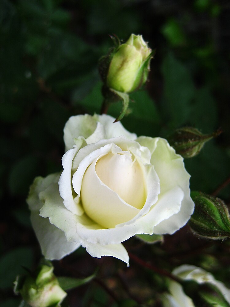 White Rose by silverfish