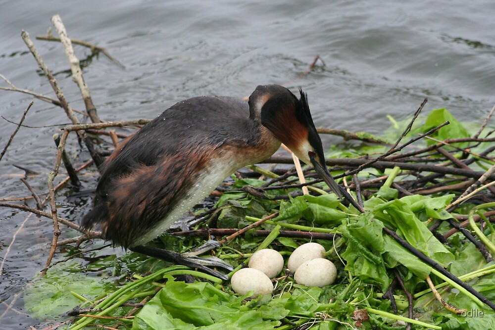 grebe with eggs by odile