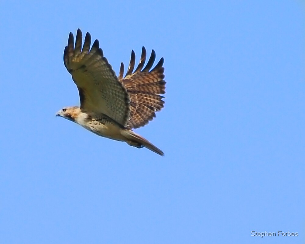 Red Tail Flight by Stephen Forbes