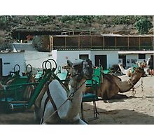 Working Camels Photographic Print