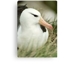 Black-Browed Albatross Canvas Print