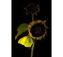 Impression with dried sunflower Photographic Print