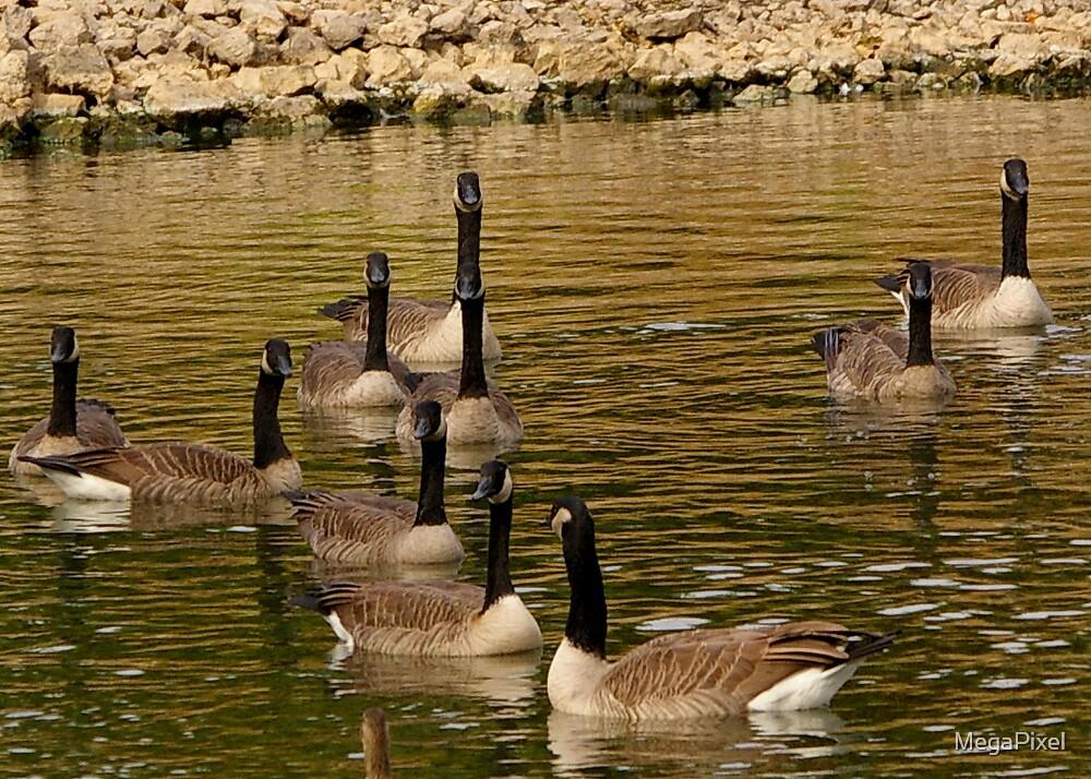 Canadiens Visit Cool Pond by MegaPixel