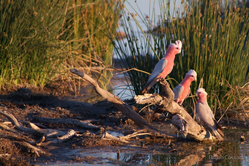 More sunny birds by Bryan Cossart