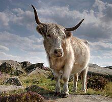 Highland Cow on Baslow Edge by Jonnyfez