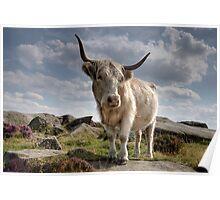 Highland Cow on Baslow Edge Poster