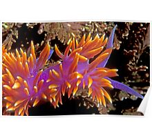Spanish Shawl. (Flabellina iodinea) Santa Cruz Island, CA Poster