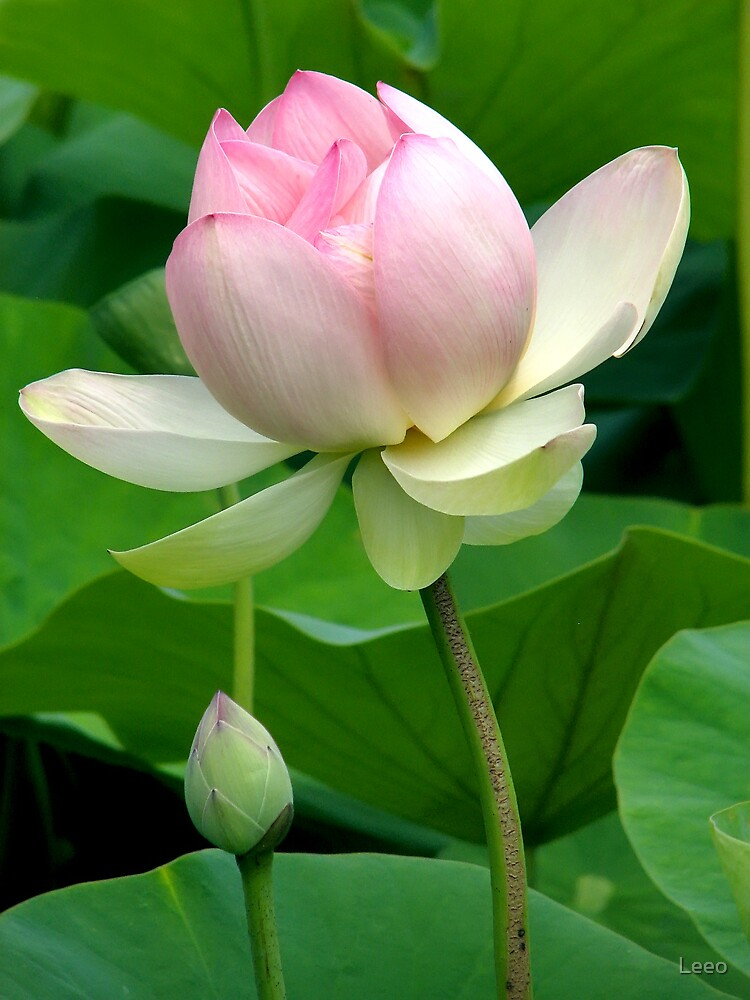 Lotus Flower by Leeo