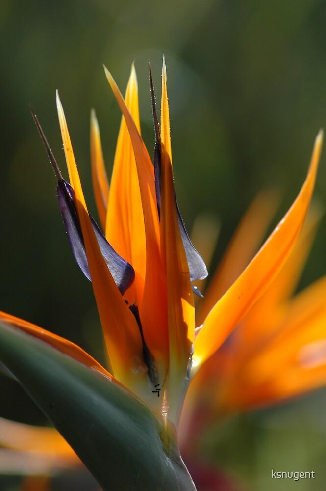 Bird of Paradise by ksnugent