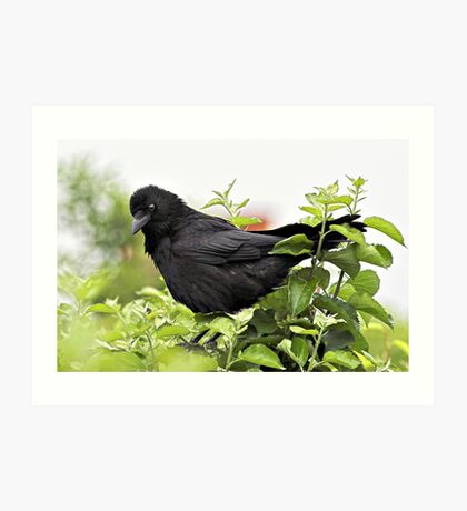 Crow in Apple Tree Art Print