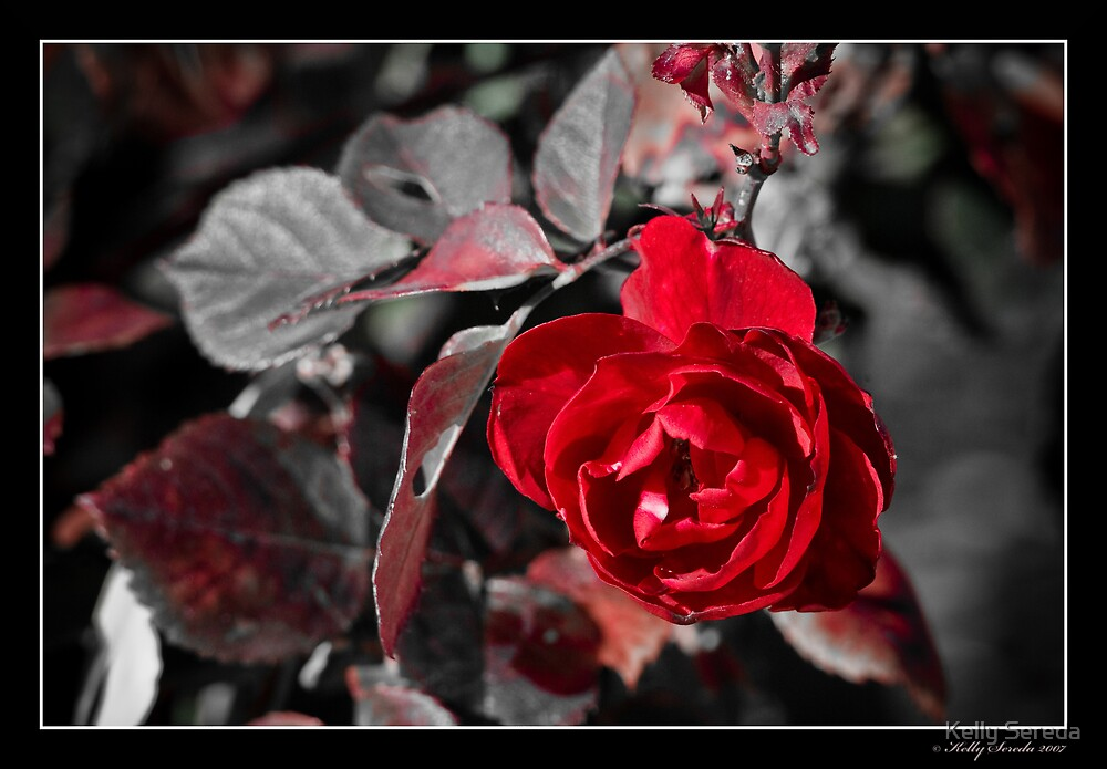 Desaturated Rose I by Kelly Sereda