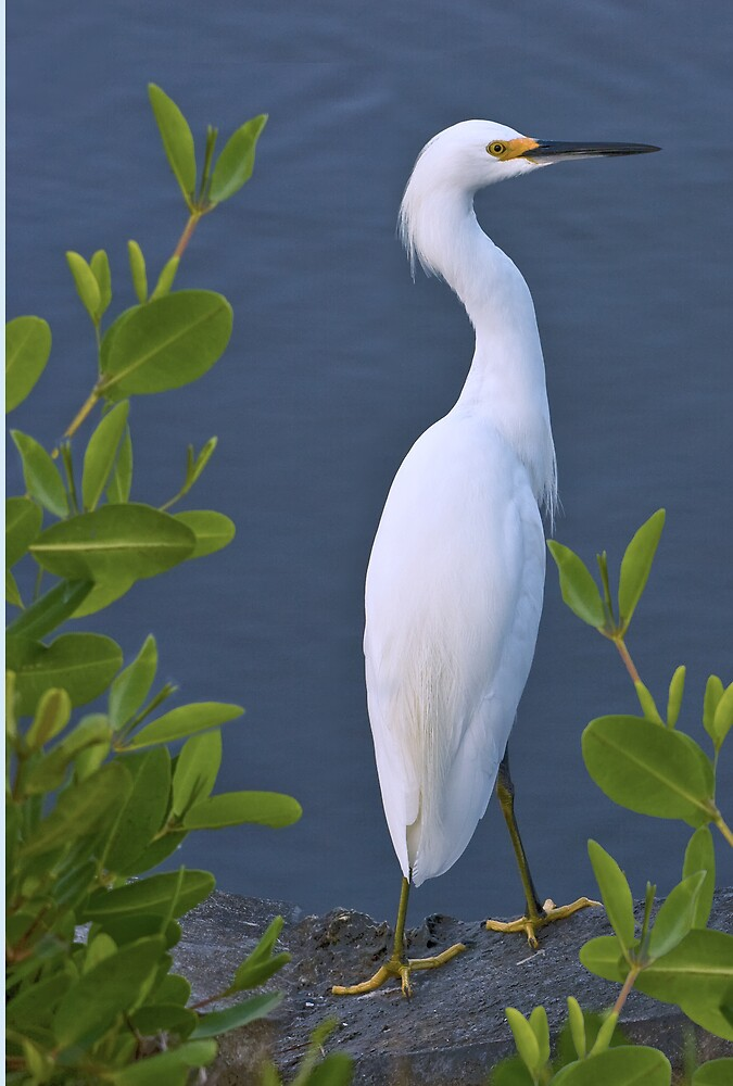 Snowy Egret at Pond by Delores Knowles