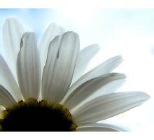 Backlit Daisy Photographic Print