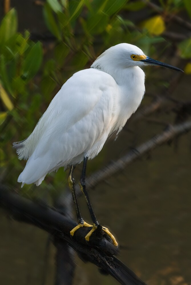 Snowy Egret in Tree by Delores Knowles