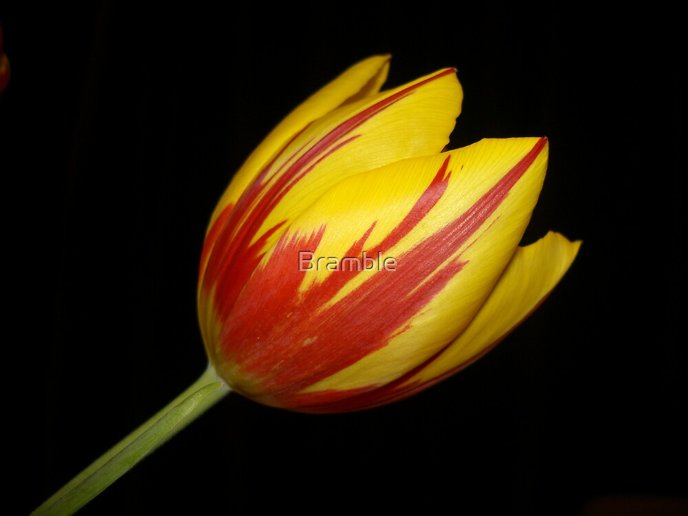 Tulip by Bramble