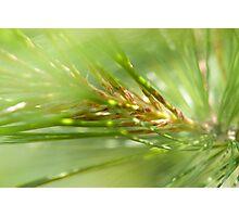 Pine Needles Photographic Print