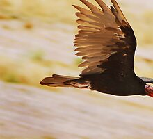 Fly Like a Turkey Vulture? by Stephen Forbes