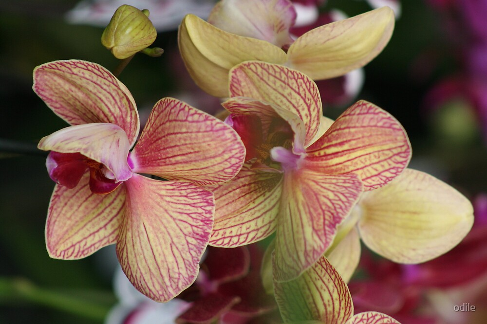 pink orchids by odile