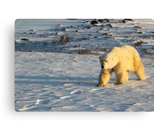 Polar Bear Walking in Footprints, Churchill, Canada Canvas Print