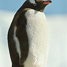 Gentoo Penguin by Steve Bulford