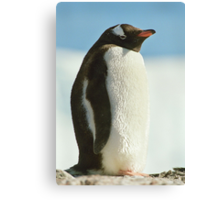 Gentoo Penguin Canvas Print