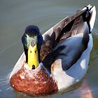 Young Mr. Mallard by Brenda Loveless
