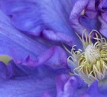 Clematis Glory by Elisabeth Thorn