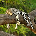 The Leopard Sleeps Tonight by Rhys Herbert