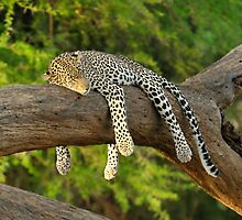 The Leopard Sleeps Tonight by Rhys Herbert