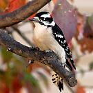 Male downy Woodpecker by Linda Karlin