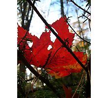 Red Maple Leaf Photographic Print