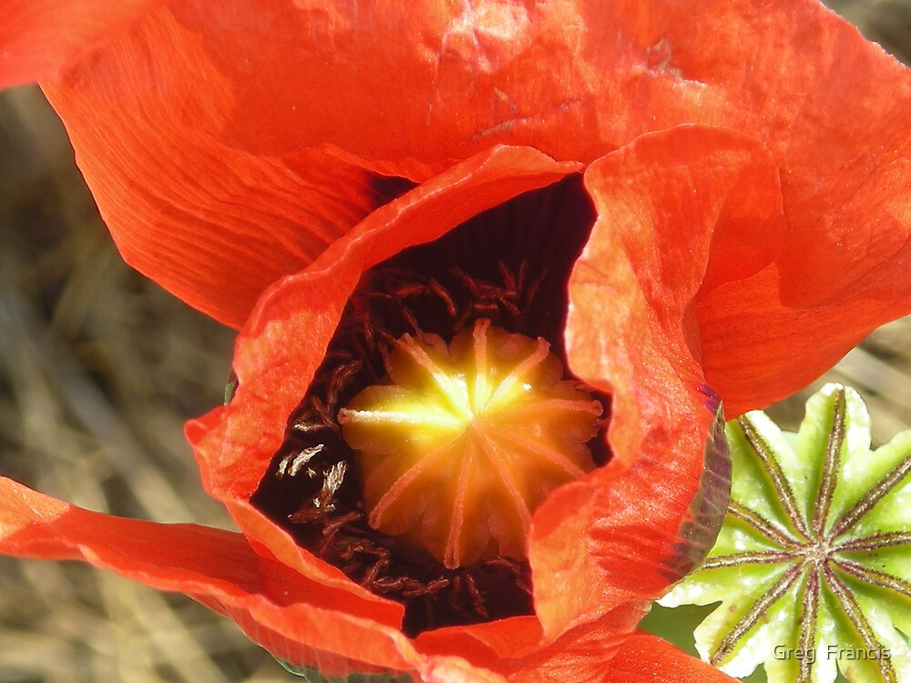 Poppy # 3 by Greg  Francis